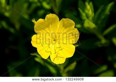 Yellow Oenothera odorata. Blooming yellow flowers in a charming mountain