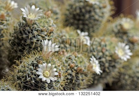 blooming cactus mammilyariya proliferation of white background