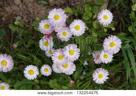 Groundcover creeping, low-growing plants, usually perennial and beautiful low-growing Daisy flowers