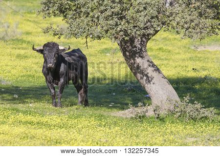 Magnificent spanish bulls and holm oak in the field. Extremadura, Spain