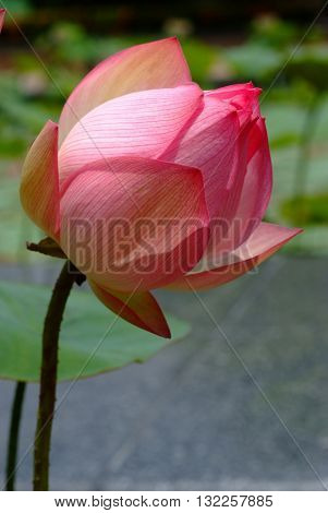 Lotus flower rare flower. Ancient flower. Symbol of purity. Symbol of Buddhism Nelumbo Lotus orehonosny Species listed in the Red book Nelumbo nucifera a Plant in of Asia and Orient