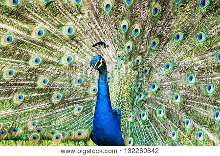 Indian peafowl or Blue peafowl - Pavo cristatus - a large and brightly coloured bird is a species of peafowl native to South Asia but introduced in many other parts of the world. Male (peacock) displaying. Vibrant colors. Beauty in nature.