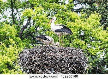 Family of White stork - Ciconia ciconia - in the nest. Animal scene. Bird watching. Seasonal natural scenery. Beauty in nature. Red beak. Bird's nest.