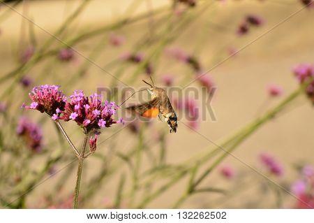 hummingbird hawk-moth (Macroglossum stellatarum) Alps France Moth Contamines Montjoie