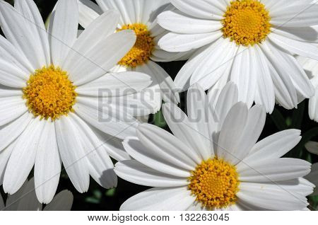 White Chrysanthemum flowers Costa del Sol Malaga Province Andalucia Spain Western Europe.