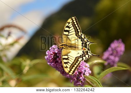 Swallowtail (Papilio machaon) feeding on nectar in the Alps