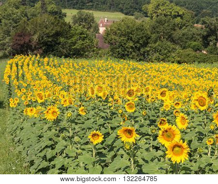 A field of sunflowers in France's Dordogne region