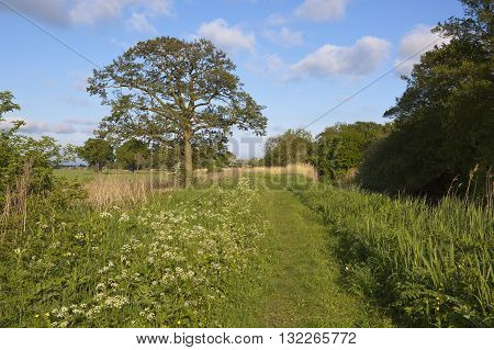 Canal Towpath With Oak Tree