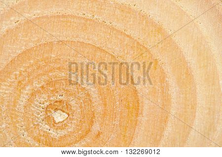 Closeup background of year rings texture of the unique relict ash tree (Fraxinus sogdiana) grown in the Sharyn canyon, Kazakhstan.