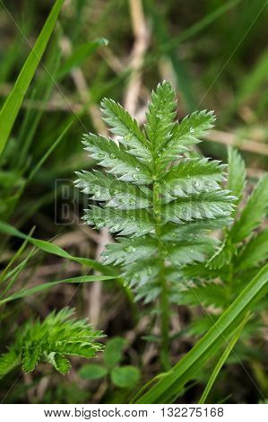 Background with young leaves Silverweed, Potentilla anserina after rain.