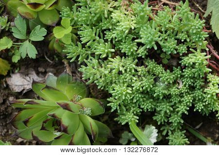 Groundcover creeping, low-growing plants, usually perennial and beautiful stonecrop