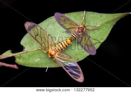 Mating Clear-Winged Tiger Moths (Amata sp) from Kinabalu National Park