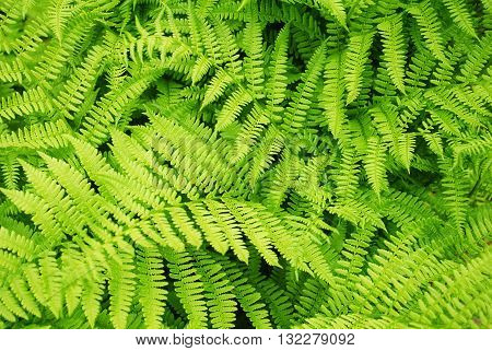 Back Ground of a Green Summer Fern