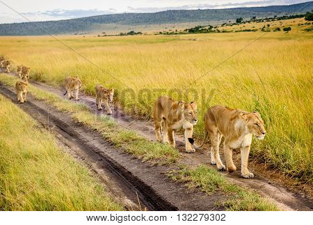 Two Mothers Lioness with her cubs in Masai Mara reserve Kenya