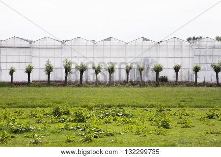 Greenhouse exterior with pollard willows in front
