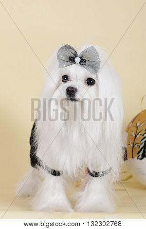 a cute dog Maltese in glamorous outfit with a shiny bow