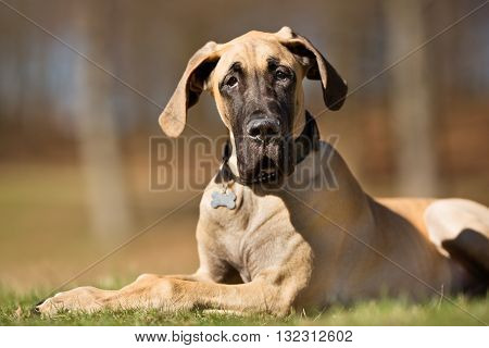 Great Dane Dog Outdoors In Nature