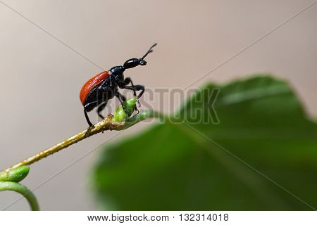 Beetle walnut weevils on green birch leaf.