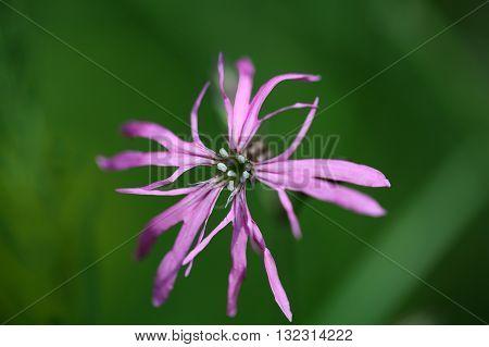 Flower of a Ragged-Robin (Lychnis flos-cuculi) a wild growing pink flower.