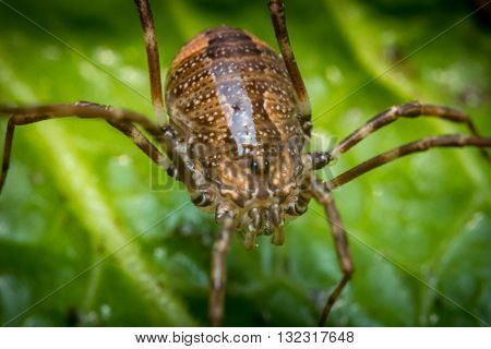 Daddy longleg or harvestman spider on green leaf background poster
