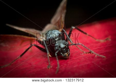 Winged flying carpenter ant on red leaf surface