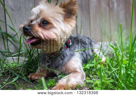 Portrait yorkshire terrier or yorkie sitting in grass and smiling
