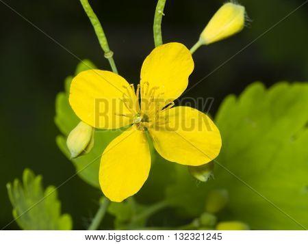 Flower of greater celandine or tetterwort Chelidonium majus macro selective focus shallow DOF
