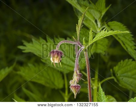 Water avens geum rivale fluffy flowers and buds on stem macro with blurred background selective focus shallow DOF