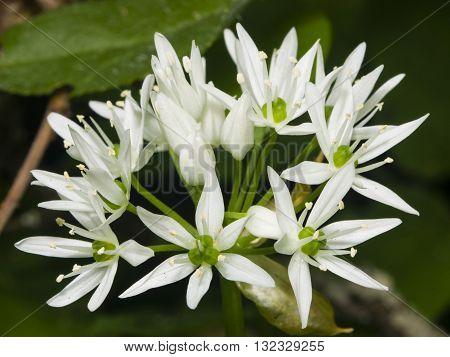 Blooming Wild Garlic Allium ursinum flowers in weed close-up selective focus shallow DOF