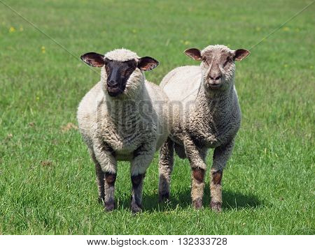 Two young sheep standing on a green meadow