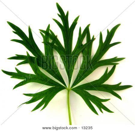 Leaf Of Monkshood
