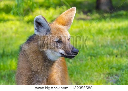 Maned wolf (Chrysocyon brachyurus) female in a field poster