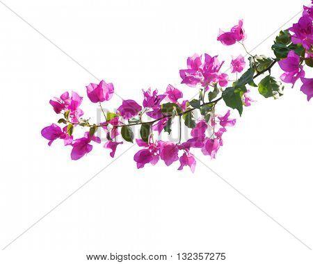 Blooming bougainvilleas isolated on white background poster