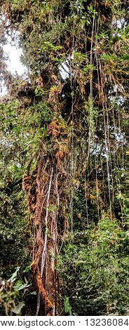 Panoramic view of a tall tree with lianas hanging from the brances