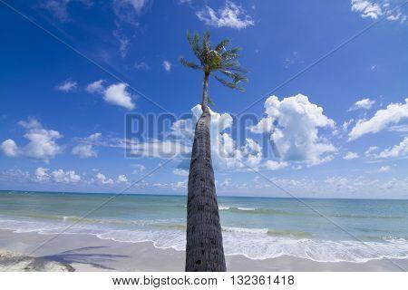 Coconut Palm tree on the white sandy beach