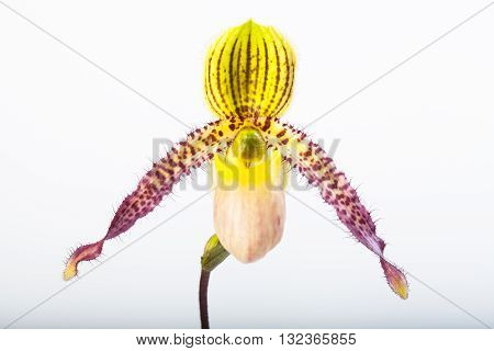 exotic tropical orchid species Paphiopedilum appletonianum lady's slipper flower closeup isolated on white