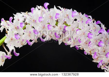 White and pink orchid on a black background