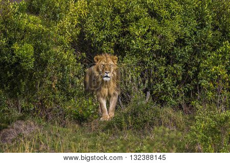 Adult male lis standing in the middle shrubbery. An adult male lion is standing in the middle of shrubbery. He is looking to forward. He has a mane with gold brown color. He is looking angry strong and powerful.