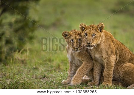 Two baby lions are looking to camera curiously and shy. Two baby lions are standing on the grass. They are looking to the camera curiously and shy. Their faces and forelegs can seen. They have brown and yellow hair.