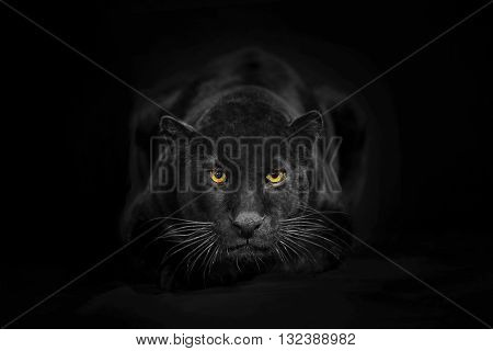 Black leopard looking camera with yellow eyes on black background. The black adult leopard is looking towards the camera. He called also black panther. He's a melanistic leopard. His colour is black but has ghost stripes. His body and ears can recognizabl