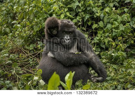 Female mountain gorilla with her cute baby. Mother mountain gorilla is sitting in the middle of leaves. They are in the middle of leaves. Infant gorilla is sitting on her shoulder and holding tightly. They are looking towards camera. The baby gorilla look