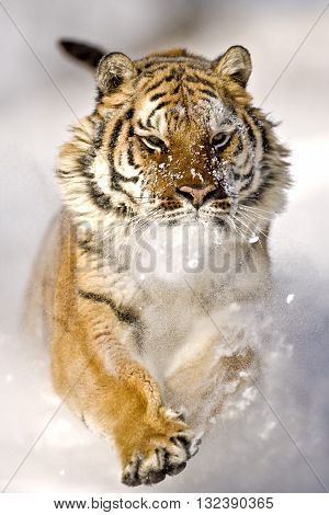Amur tiger is running and snowflakes are hitting his face. Adult male amur tiger is running on the snow with fearless look on face. It's a front view. His forelegs are lifted. His right paw his face and ears can seen clearly.