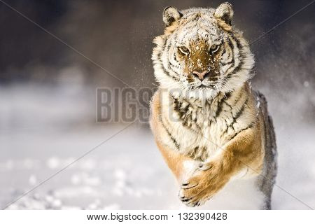 Amur tiger is running while looking towards camera. Adult male amur tiger is running on the snow with fearless look on face. It's a front view. His forelegs are lifted. His left paw his face and ears can seen clearly. Snowflakes are on his his face.