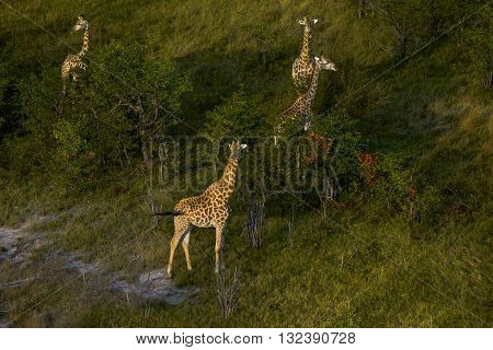 Group of giraffes are standing. Small group of giraffes standing. Four giraffes standing. One of the giraffes can seen in forefront. Tree of them are standing behind of trees. It's an aerial view. The photo had been taken at Okavango Delta Botswana.