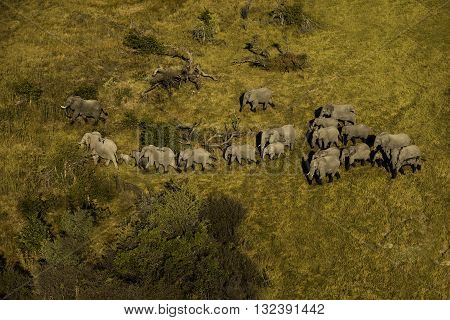 Big group of elephant walking at Okavango Delta. Some of them are infant and others are adult. Their shadows can seen. Aerial photography. It is day time. Elephants are walking on brown and yellow grass almost in a single line.