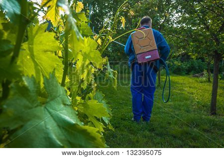 Man spraying the vineyard  to prevent powdery mildew