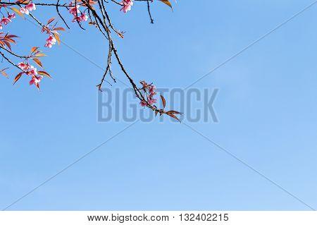 Thai Sakura Or Cherry Blossom In Chiang Mai, Thailand, Copysapce