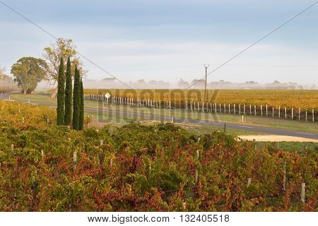 Foggy view of vineyard in the morning. These wine grapes are growing on limestone coast in Coonawarra winery region during Autumn in South Australia