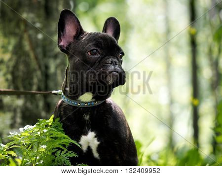 Walk the dog. The high green grass, park. Black dog, french bulldog breed. On the dog collar and leash. Dog portrait
