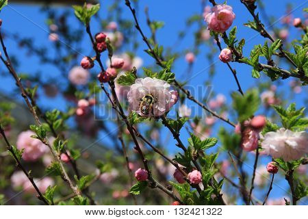 Bumblebee on a pink flowering almond bush.